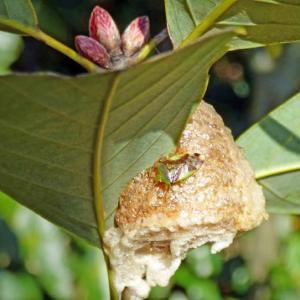 アオモンツノカメムシ(青紋角亀虫) カマキリの卵塊の上で成虫越冬!