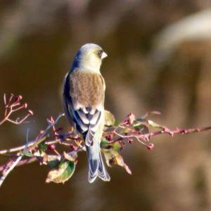 ユリカモメ(百合鴎)乱舞 境川流域の野鳥観察