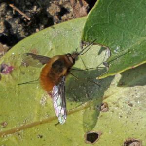 ビロードツリアブ(天鵞絨吊虻) 春のモフモフ昆虫!