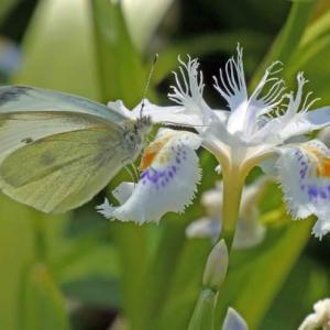 ツマキチョウ(褄黄蝶) 春の妖精がやって来た!