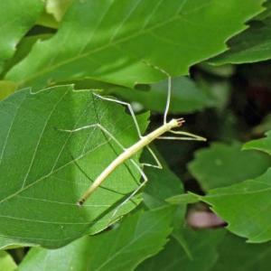 ナナフシモドキ(七節擬)の幼虫 ツイッギーですねえ!