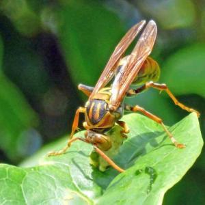 セグロアシナガバチ(背黒脚長蜂) 肉の略奪!