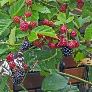 ゴマダラチョウ(胡麻斑蝶) ブラックベリーに群がる!