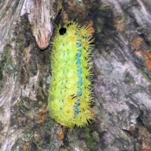 アオイラガ(青毒棘蛾)の幼虫