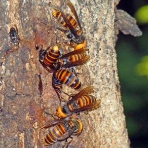 オオスズメバチ(大雀蜂) 口移しで栄養交換!