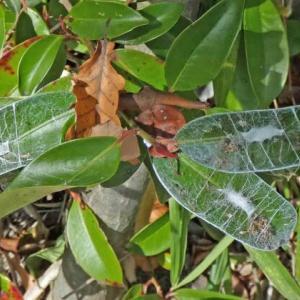 ネコハグモ(猫葉蜘蛛) ぼろ網ですが!