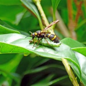 オオフタオビドロバチ(大二帯泥蜂) ガの幼虫をドンドン狩ってほしい!