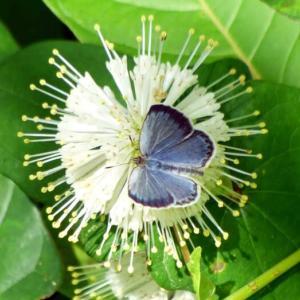 ヤマトシジミ(大和小灰蝶)と雨季に咲く花!
