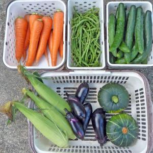 初収穫(トウモロコシ、ナス、カボチャ)