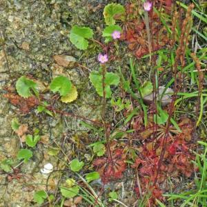 トウカイコモウセンゴケ(東海小毛氈苔) 食虫植物の花が咲いた!