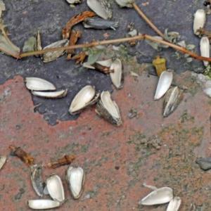 カワラヒワ(河原鶸)の若 ヒマワリの種子が好き!