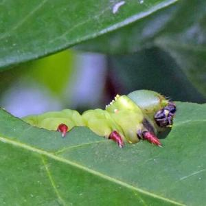 オオスカシバ(大透翅)の幼虫 クチナシの葉が好き!