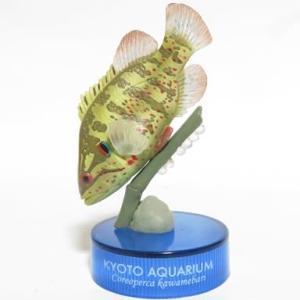 京都水族館コレクション オヤニラミ
