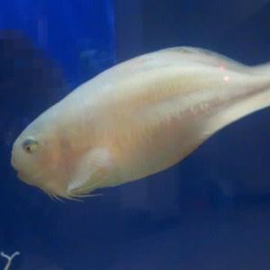 【水族館めぐり6】 半目の魚