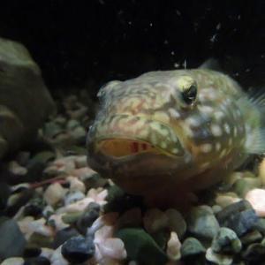 我が家の淡水魚 ヌマチチブの歯