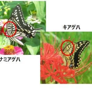 アゲハチョウの模様 【身近な生き物たち115】