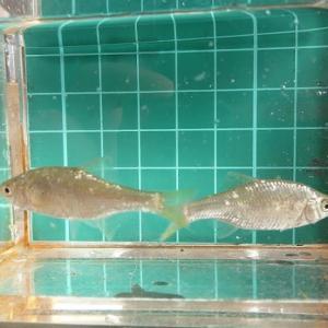 ヤリタナゴ 【淡水魚ギャラリー51】
