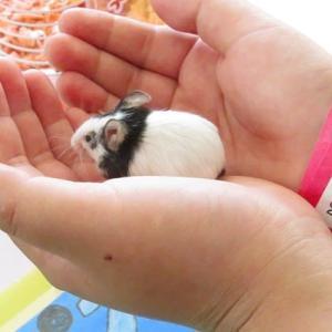 【動物園めぐり22】 パンダマウス