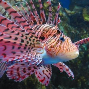【水族館めぐり28】ピンクのミノカサゴ