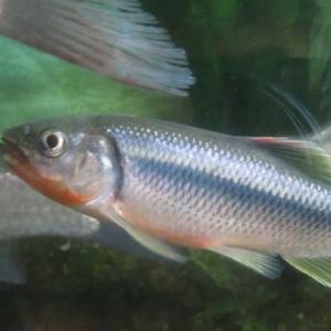 我が家の淡水魚 雑魚とは言わせない