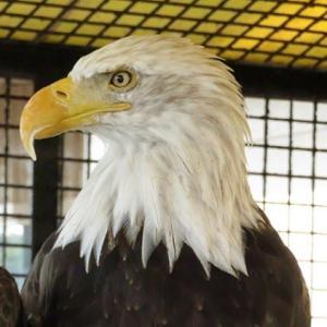 【動物園めぐり37】白頭鷲
