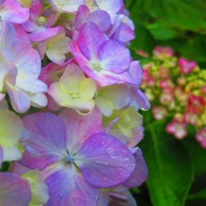 梅雨空  紫陽花 雉