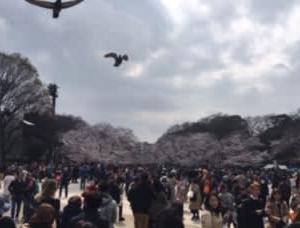上野公園の桜で気持ちリセット