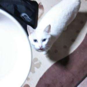 秋田県大館市  にゃごにゃごにゃーご  【全力♥️小雪】猫のいる風景