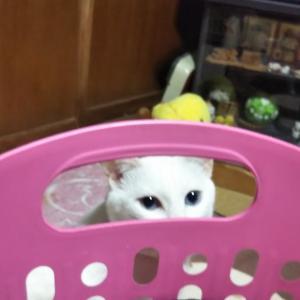 秋田県大館市  にゃごにゃごにゃーご  【全力♥️隙間猫】