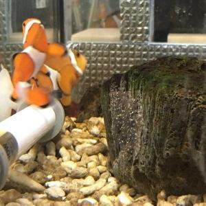 カクレクマノミ繫殖:年明けの新たな命:孵化