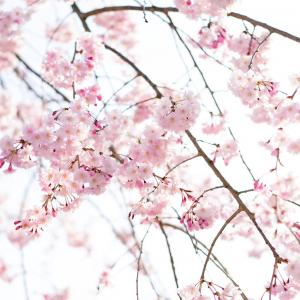 桜の香りの正体