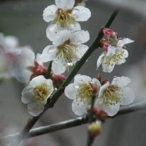 白梅の花、咲く。果樹を植えたこと、