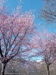 いろいろ(938)桜散る