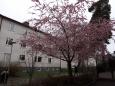 いろいろ(1043)桜と雪