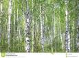 いろいろ(1048)凶暴な白樺