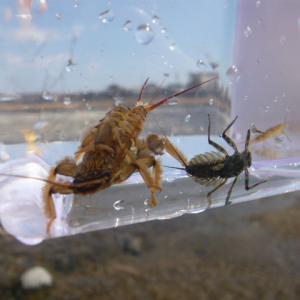 《渓流釣り考察》ヒガシマル前の川虫