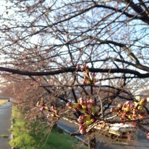 金沢の桜開花は4月1日、満開日は?