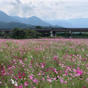 「見奈良 コスモス畑」へ行ってきました~~