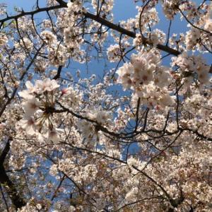 通りすがりに桜。