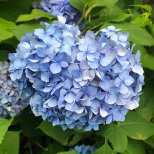 紫陽花とアガパンサス