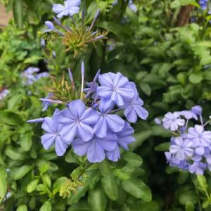 今日覚えた花はルリマツリ