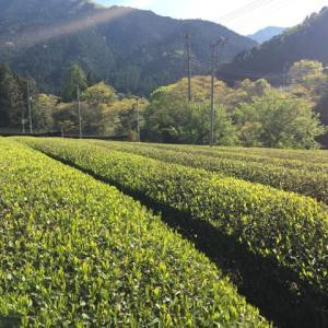 まもなくお茶の少量タイプの販売を始めます!