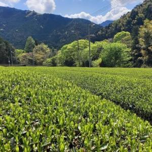 美しい茶畑。
