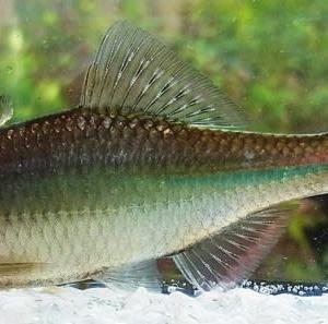 ミナミアカヒレタビラ(釣査247種目):北陸での自省