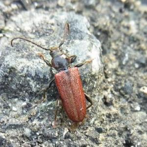 ウリハムシなど:我が家近辺の甲虫たち