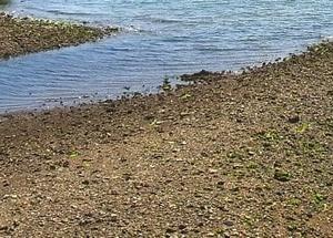 ミミズハゼの3型?:小河川干潟にて