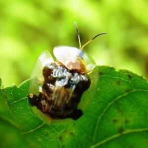 イチモンジカメノコハムシ:成虫・幼虫に会う!