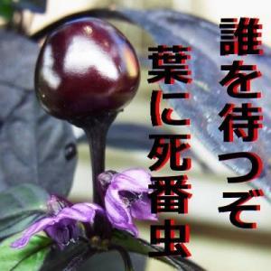 『唐辛子』 俳句ポスト365 :連続入選 人一つ!