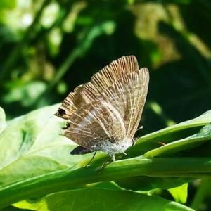 ウラナミシジミ:エンドウ豆畑でつかまって