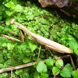 カマキリ2種、そして季語「蟷螂」との葛藤